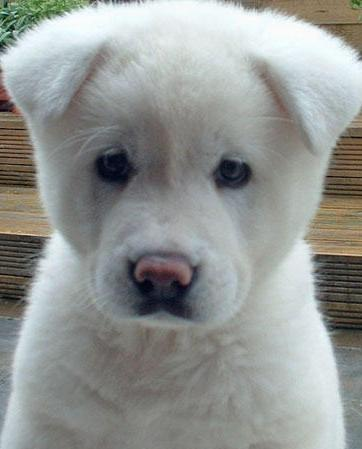 Pics Photos - Akita Dog For Sale White