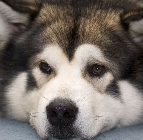 malamute photos