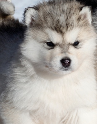 alaskan malamute puppy photo