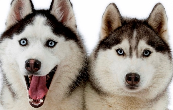 Alaskan Siberian Huskies Wallpaper