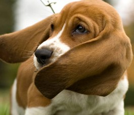 basset hound puppy photo