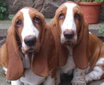 basset hounds picture