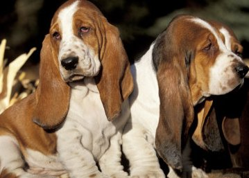 pictures of basset hounds