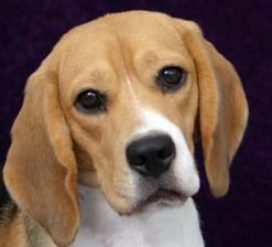 beagle breed picture