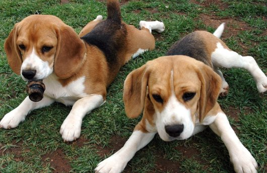 picture of beagles