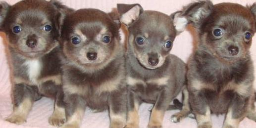 blue applehead chihuahuas