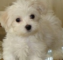 Chihuahua Poodle Image