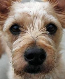 Chihuahua Yorkie Mix | Pictures of the Yorkshire Chihuahua Dog