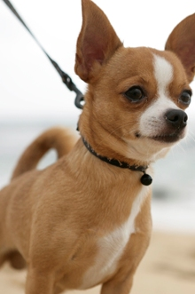 Deer Head Chihuahua Dogs Pictures | Dog Breeds Picture