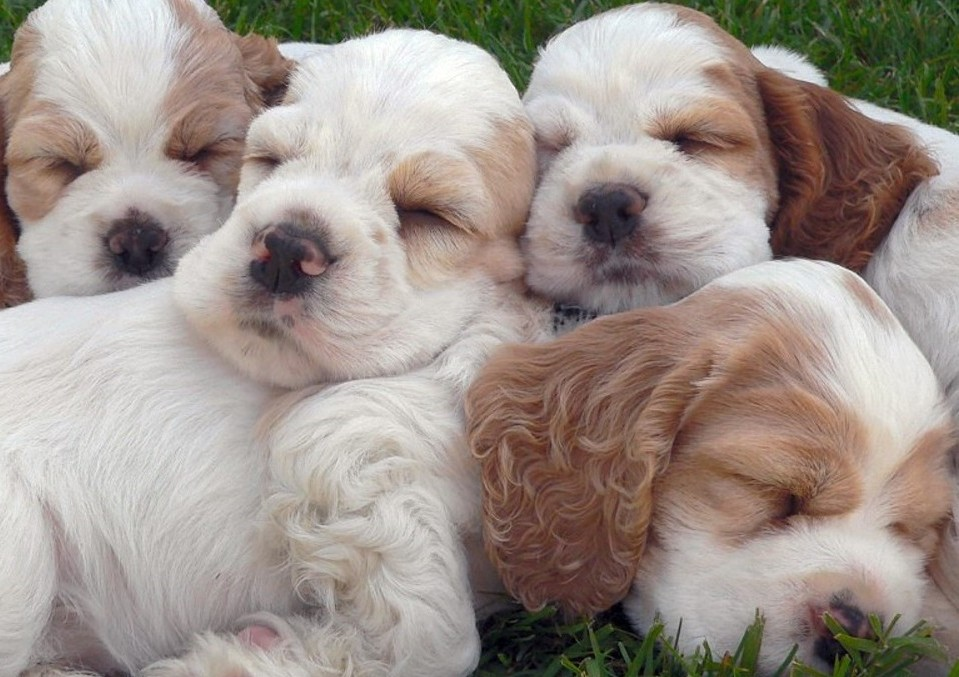 english cocker spaniel puppies