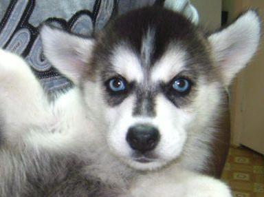 female alaskan husky puppy