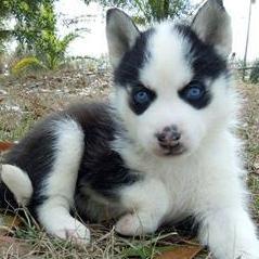husky puppies siberian husky puppies siberian husky puppy alaskan