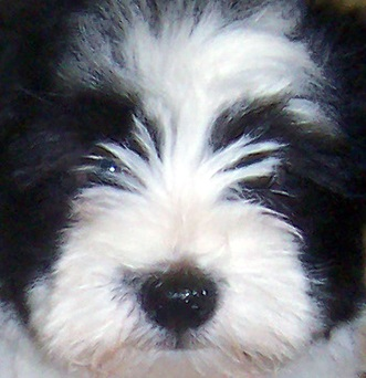 cute havanese puppy