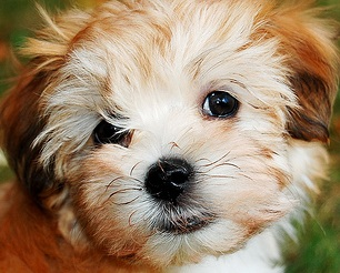 red havanese puppy