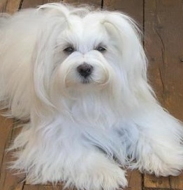 white havanese dog