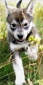 cute husky mix