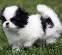 small japanese chin