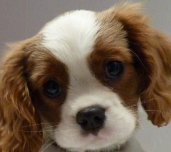 Cute King Charles Spaniel Puppy