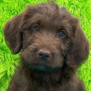 Labradoodle Puppy Picture