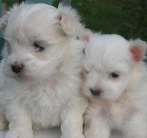 Maltese Puppies | White Maltese Dog Pictures