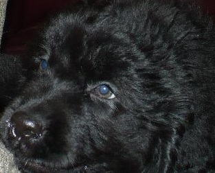 Cute Newfoundland Puppy