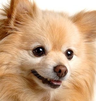 Pomeranian Puppy Picture