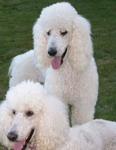 Poodle Picture