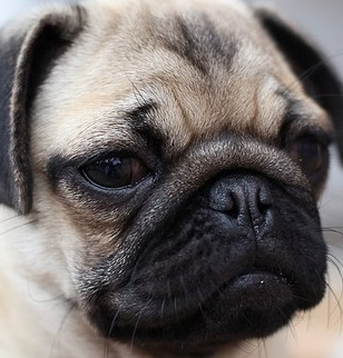 Pug Picture