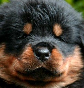Rottweiler Puppy Pictures Of The Rottweiler Dog
