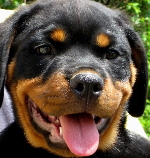 Rottweiler Puppy Picture