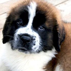Saint Bernard Photo