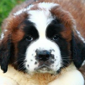 Saint Bernard Picture