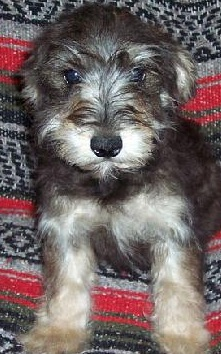 Schnoodle Puppy Picture