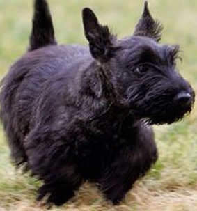 Black Scottish Terrier Puppy