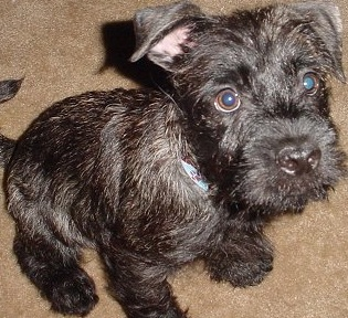 Scottish Terrier Picture