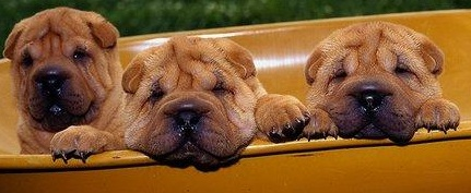 Shar Pei Puppies Picture