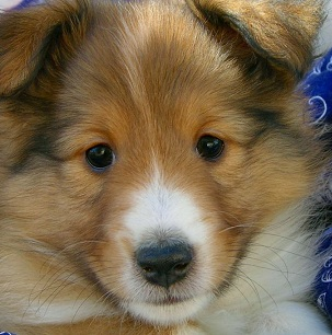 Shetland Sheepdog Puppy Picture