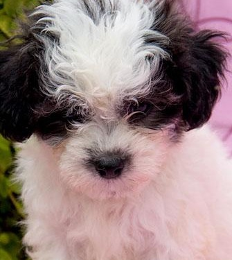 Shichon Puppies on Shichon Puppies   Pictures Of The Shichon Dog Breed