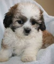 Shichon Puppy Picture