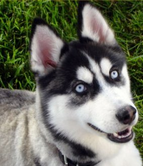 Gerberian Shepsky Puppies For Sale California | Dog Breeds Picture