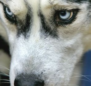blue eye siberian husky dog