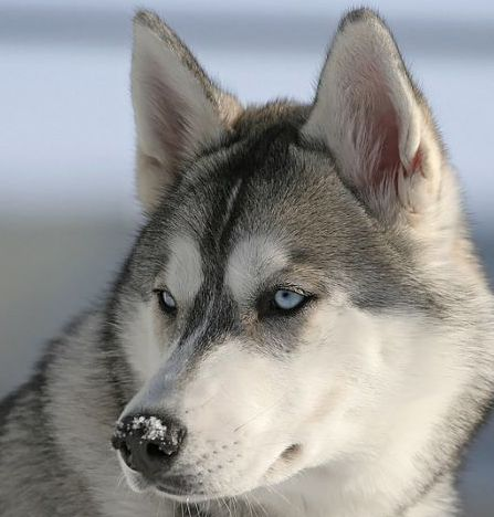 grey siberian husky dog