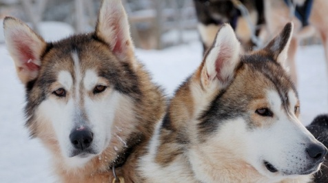 red siberian husky dogs