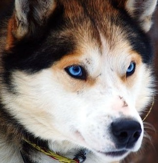 Alaskan Malamute And Siberian Husky Mix Picture