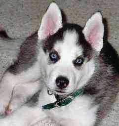 cute siberian husky picture