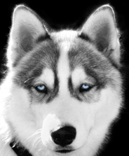 grey siberian husky picture