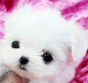 White Teacup Puppy