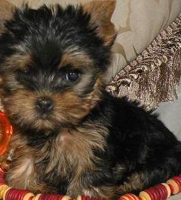 Yorkie Teacup Puppy