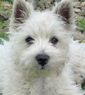 Curly West Highland Terrier