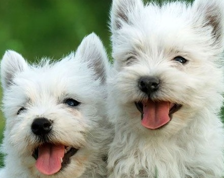 Westie Puppies | Pictures of the Westie Dog Breed